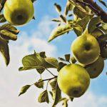 Manzana fuji segura para consumo