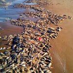 Activan contingencia para retiro de peces muertos por marea roja