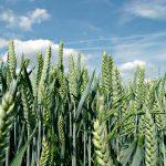 Mejoran perspectivas mundiales para cosechas de maíz, trigo y arroz
