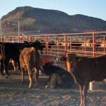 Sinaloa recibirá menos dinero para ganadería