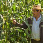 Impulsan proyecto de milpa sustentable en Yucatán
