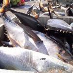Modifican veda temporal de pesca de atún en el Pacífico