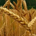 Monsanto indemniza a agricultores afectados por cultivos transgénicos