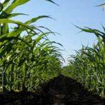 Monsanto busca tecnificar un millón de hectáreas de maíz en México