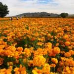 Producirá Morelos más de 250 ton de cempasúchil