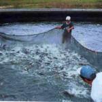 Mortandad de peces afecta a productores de mojarras en las presas