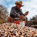 Nueva oportunidad para maíz mexicano