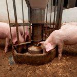 Alternativas en nutrición porcina
