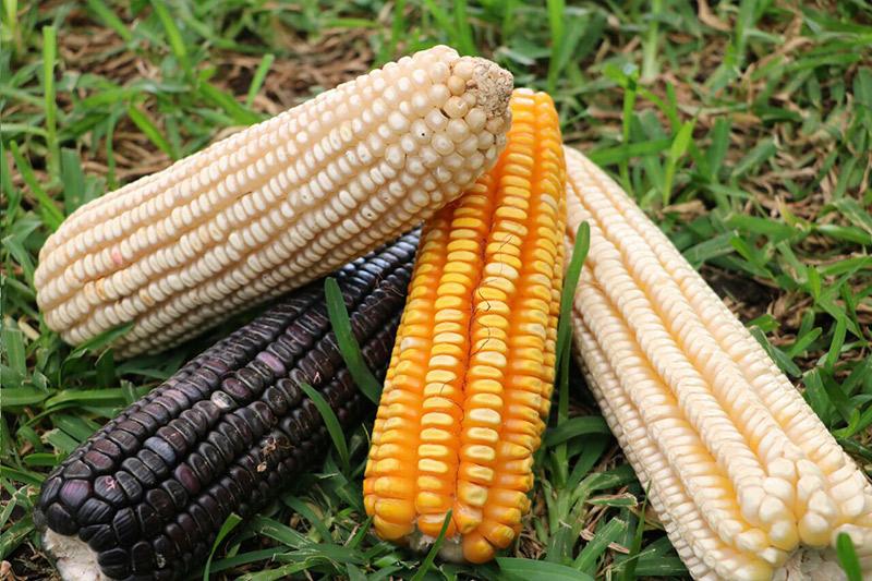 el origen del maiz
