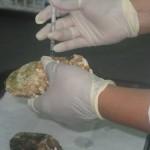 Investigan parásito que afecta producción de ostión