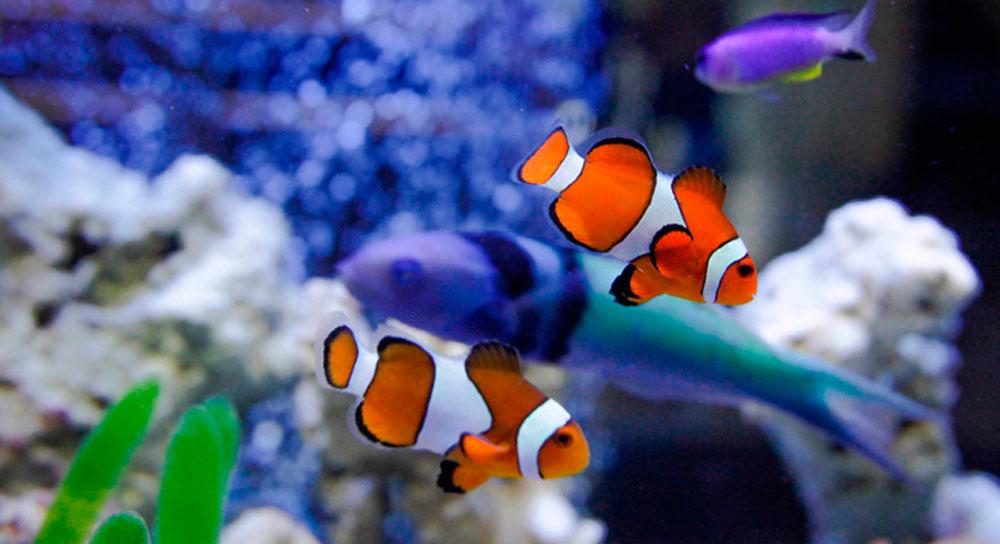 Peces de ornato en m xico 2000agro revista industrial for Cria de peces ornamentales