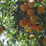 Peligra el 50% de la producción citrícola en Tamaulipas
