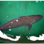 Combaten pesca ilegal de totoaba