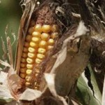 Pese a la sequía en medio país, el abasto de maíz está garantizado