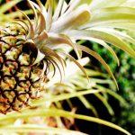 Genoma de la piña combatirá la sequía