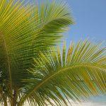 Ofensiva para frenar plaga que arrasa palmeras