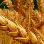 Temen pérdida en producción de trigo