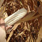 El precio del maíz podría descender en diciembre hasta un 36%