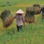 Favorecerán cultivo y producción de arroz