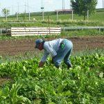 Producción agrícola aumenta 6.1% de enero a julio de 2015