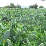 Promueven en SLP cultivos de nopal y semilla de girasol