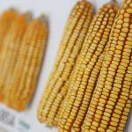 Promueven almacenamiento y cuidado del maíz