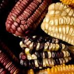 Proteger las 54 razas de maíz es fundamental en el país: PUIC