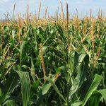 Registra avances del 87% ciclo agrícola de Durango