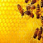 Rentarán abejas en Chihuahua