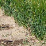 Riego por goteo con cintilla enterrada en maíz y cebada