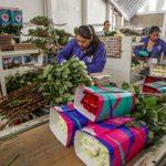 Producción de rosas mexicanas