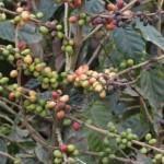 Advierte empresario que planta de café resistente a roya es una mentira