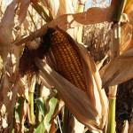 Se perdieron 300 hectáreas de maíz y frijol, por la sequía