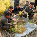 Producción alimentaria norcoreana afectada por sequía