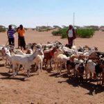 Sequía afecta a ganaderos en Etiopía