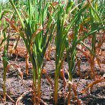 Tolerancia a sequía, el foco de las investigaciones en maíz