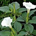 Toloache, una planta sagrada con muchas propiedades, afirma terapeuta