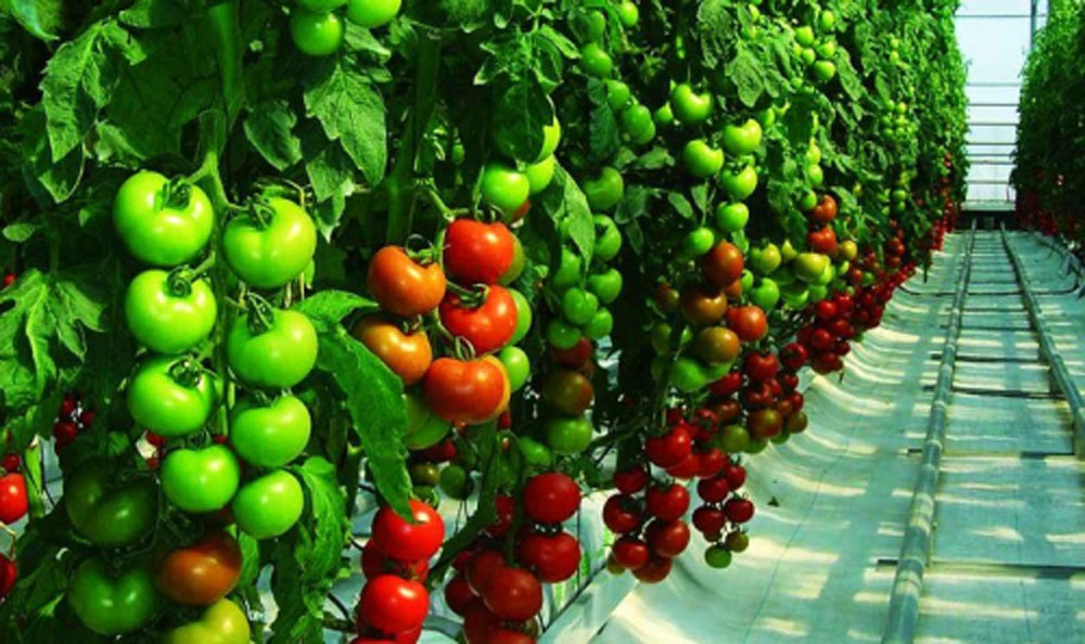 tomates-acelerada