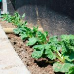 Cultivan tomates nutritivos regados con agua de mar