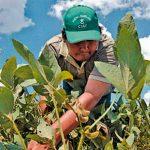 Polémica por uso de semillas transgénicas en Bolivia