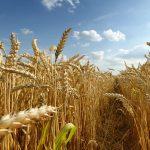 Investigación del trigo en China