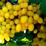 Uvas mexicanas en Australia en 2017