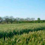 Desarrollan evalúan nuevas variedades de trigo